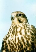 Kerecsensólyom (A Magyarország védett állatai - Puszták védett madarai c. diafilm részlete)