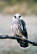 Kék vércse (A Magyarország védett állatai - Puszták védett madarai c. diafilm részlete)