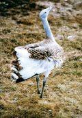 Túzok (A Magyarország védett állatai - Puszták védett madarai c. diafilm részlete)