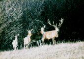 Szarvasok (A Magyarország védett állatai c. diafilm részlete)