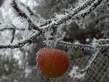 Késői alma (fotó: Bálint Eszter)