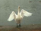 """""""A hattyúk tava"""" (Hyde Park - London, Anglia) (fotó: Bánkeszi Katalin)"""
