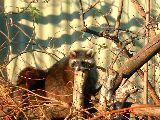 Leskelődöm(Mosómedve a budapesti Állatkertben) (fotó: Bánkeszi Katalin)