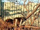 Pihengetek (Mosómedve a budapesti Állatkertben) (fotó: Bánkeszi Katalin)
