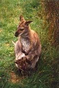 Kenguru (Ausztrália)(fotó: Konkoly-Thege György)