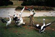 Pelikánok etetése Sydneyben (Ausztrália)(fotó: Konkoly-Thege                             György)