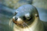 Fókafej (Galápagos-szigetek, Ecuador)(fotó: Konkoly-Thege                             György)