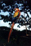 Papagáj (Guatemala)(fotó: Konkoly-Thege György)