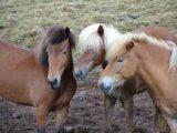 Izlandi lovak(fotó: Konkoly-Thege György)