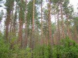 Fenyőtörzsek Litvániában(Fotó: Konkoly-Thege György)