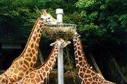 Zsiráfok etetése Memphisben (Egyesült Államok)(fotó:                             Konkoly-Thege György)