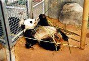Panda (Egyesült Államok)(fotó: Konkoly-Thege György)