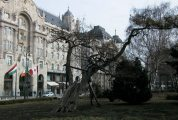 Budapest legöregebb akácfája - Budapest, Belváros (Fotó: Legeza Dénes István)