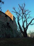 Budapest legidősebb fája - Budán, a Vár déli rondellája mellett (Fotó: Vimola Ági)