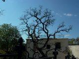 Öreg fa - A budai Várhegy DNY-i lejtője (Fotó: Vimola Ágnes)