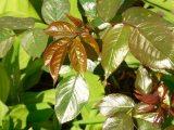 Egészség /Fényes levelek(fotó: Vimola Ágnes)
