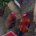 A hiú kiskakas (fotó: Moizes Gábor)