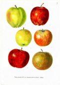 """Nemes alma – Illusztáció Csapody Vera: Színes atlasz """"Magyarország kulturflórájá""""-hoz  című kötetéből"""