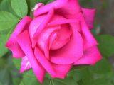 Rózsa (fotó: Vimola Ágnes)