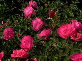Rózsák (fotó: Vimola Ágnes)
