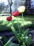 Tulipánok(fotó: Bánkeszi Katalin)